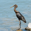 Black Great Blue Heron?