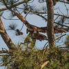 Eaglet at Guntersville Dam 14 June 2013
