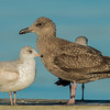 Juvenile Ring-billed and Herring Gulls
