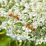 Ants on Queen Anne's Lace