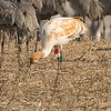 Latka a Whooping Crane juvenile