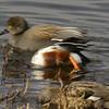 Northern Shoveler Duck