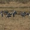 Sandhill Cranes 14 Nov 2013