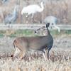 Whitetailed Deer