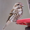 Female Purple Finch at feeder 22-23 March 2014